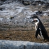 Adult Penguin