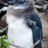 Juvenile Penguin