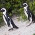 Penguins Heading For Nest