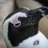 Penguin, Eye To Eye