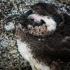 Sleepy Nestling Penguin