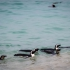 Penguins Heading Out To Feed