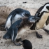 Juvenile Penguins Begging