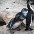 Juvenile Penguins Seriously Begging
