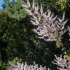 Kirstenbosch Flowering Bush #1