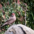 Common Waxbill #2
