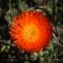 Kirstenbosch Flower
