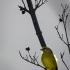 Brimstone Canary, Side