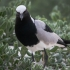 Blacksmith Lapwing, Colony Visitor