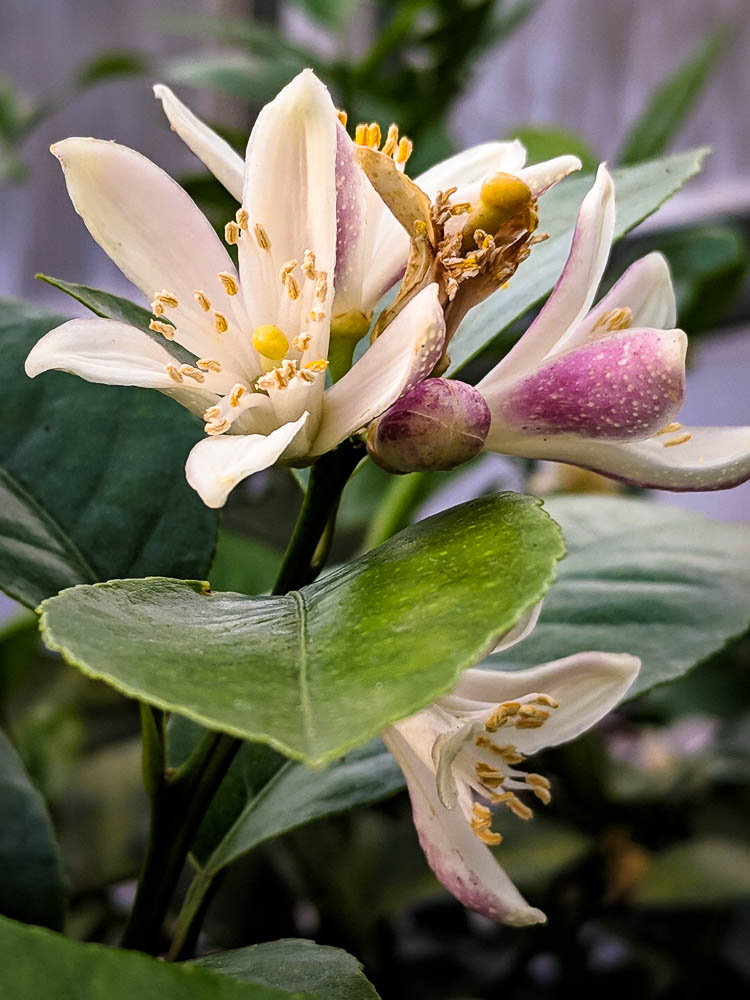 Meyer Lemon Flower