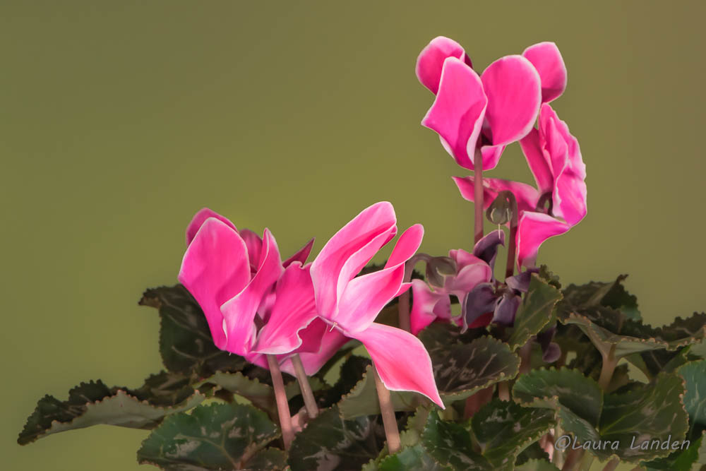 Cyclamen At Home