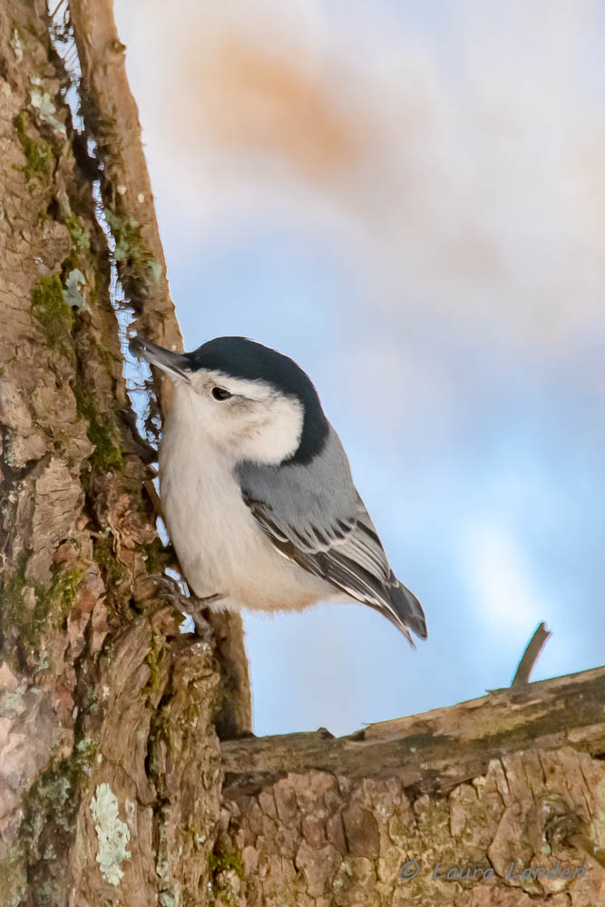 White-breasted Nuthatch With Seed