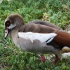 Egyptian Goose, Colony Visitor