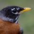 American Robin--Head