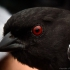 """Red-eyed"" Towhee"
