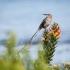 Cape Sugarbird Male Singing, #2