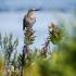 Cape Sugarbird Male, Front