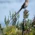 Cape Sugarbird Male, Side, #1