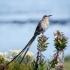 Cape Sugarbird Male, Side, #2
