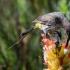 Cape Sugarbird Feeding, #1