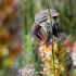 Cape Sugarbird Feeding, #2