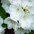 White Rhody