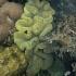 Reef corals