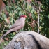 Common Waxbill #1