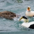 King Eider with Common Eiders
