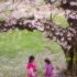 Gathering Cherry Blossoms