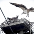 Osprey Approaches Nest