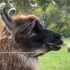 Fernando, Guard Llama