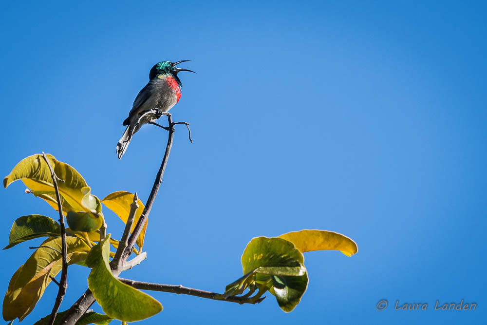 Southern Double-collared Sunbird Singing