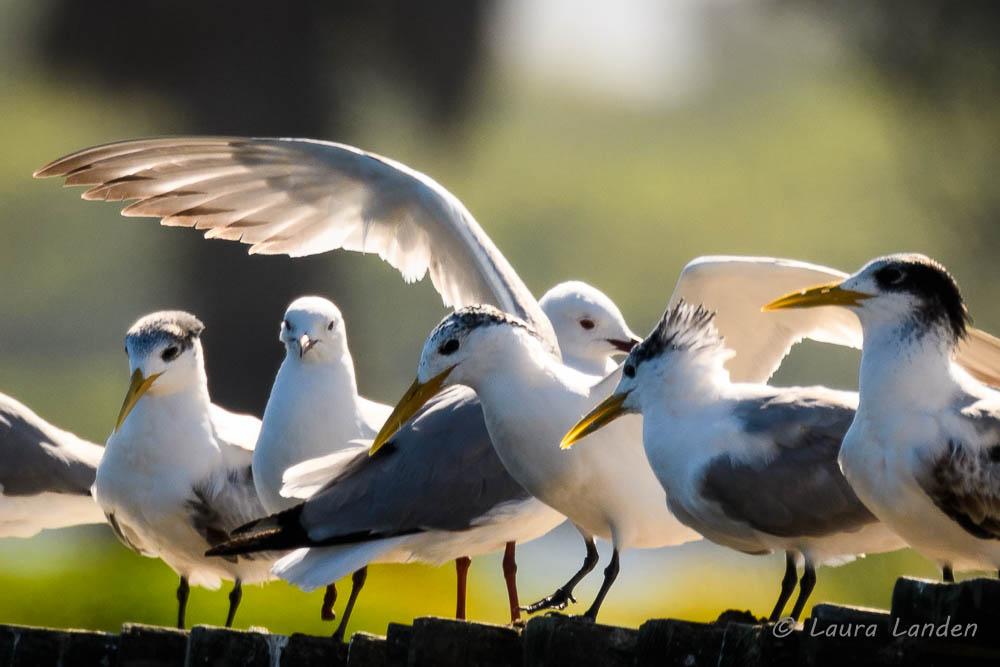 Swift Tern Landing