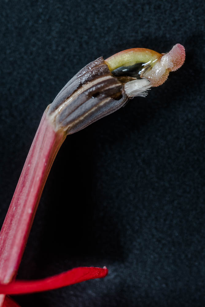 Cardinal Flower Reproductive Organs-2