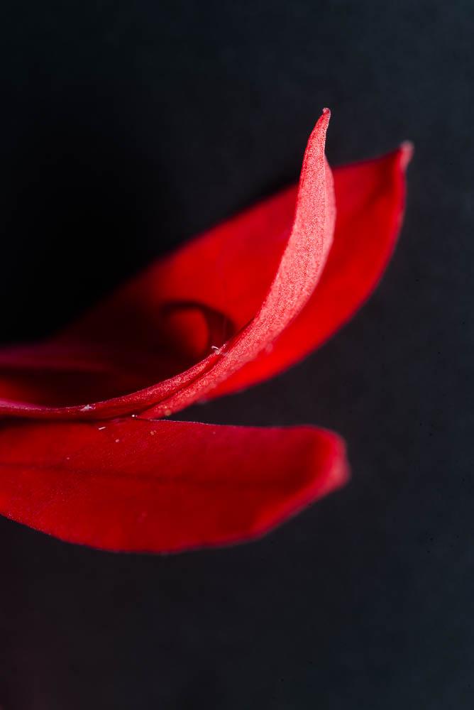 Cardinal Flower Petals