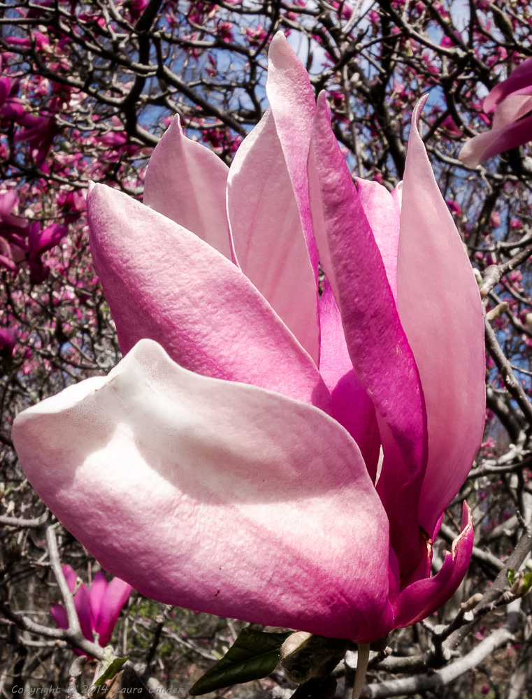 Magnolia Blossom #N452