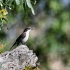 Fiscal Flycatcher, Side