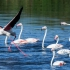 Greater Flamingo Duet