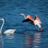 Flamingo Starting Take-off