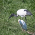 Sacred Ibis and Cattle Egret