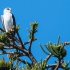 Black-shouldered Kite, #2