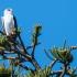 Black-shouldered Kite, #2