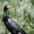 Reed Cormorant #1