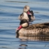 Red-billed Teal and Cape Teal