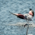 Flamingo Taking Off, Step 2