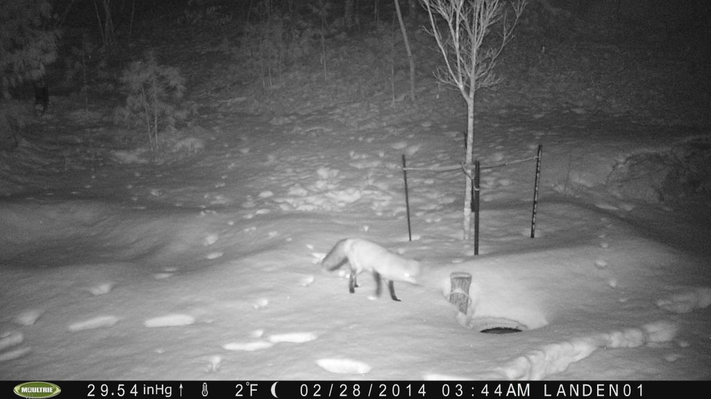 Red Fox, too!
