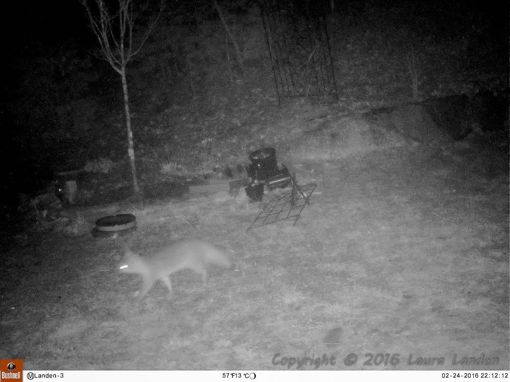 Gray Fox Pair?