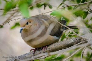 Mourning Dove, possibly near nest