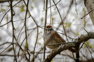 Swamp Sparrow, front view